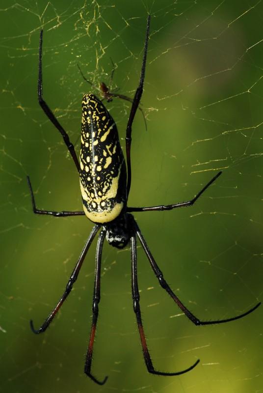 SVP, identifiez cette araignée des Seychelles ! (2 photos) Mayott16