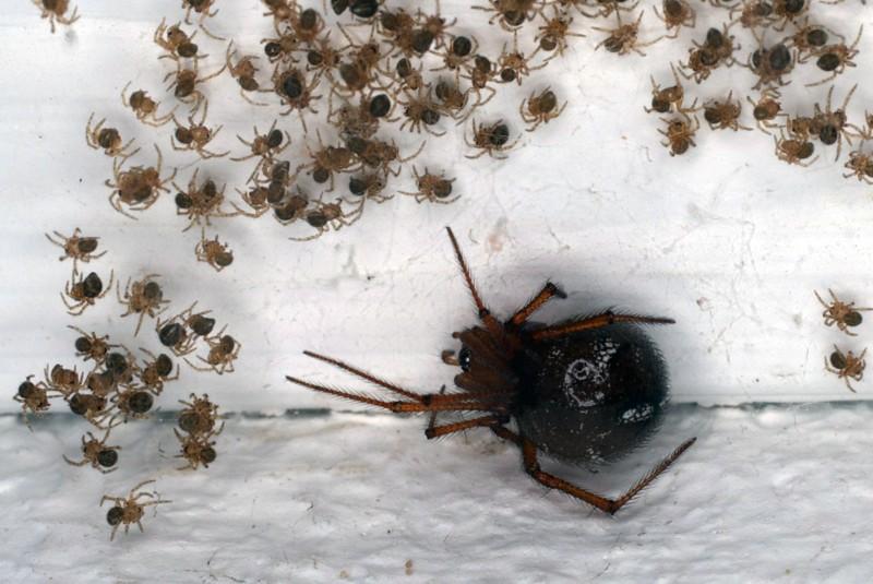 Theridiidae domestique MARTINIQUE Tel_0110