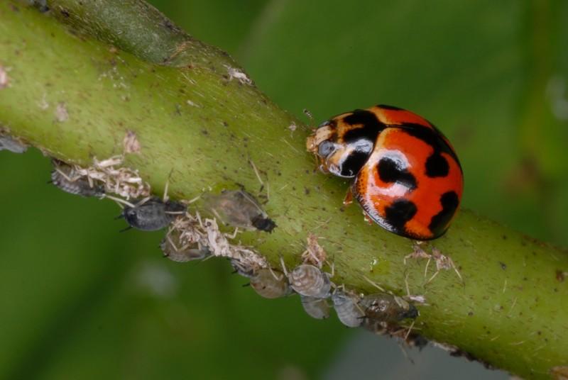 [Coelophora inaequalis]coccinelle Martinique 2 Tel_0614