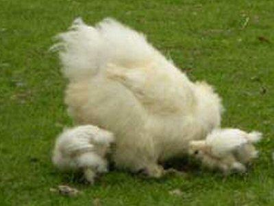 Poussins Nègre-Soie blancs Ps0110