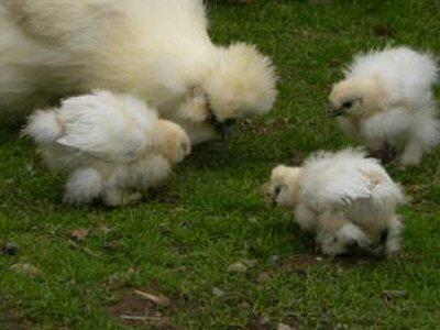 Poussins Nègre-Soie blancs Ps0210