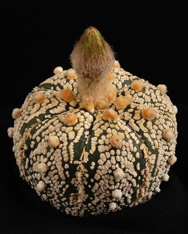 Astrophytum asterias super kabuto 113