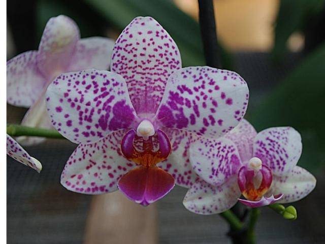 orchidées chez Boun 1312