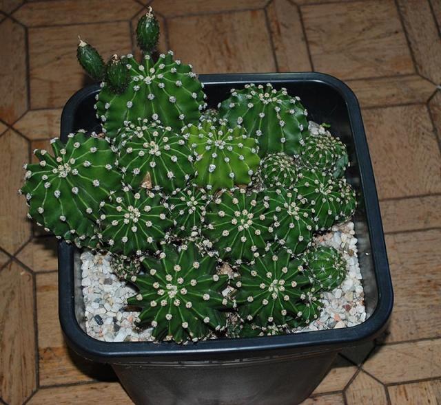 Echinopsis oxygona (= Echinopsis eyriesii v. grandiflora) 1510