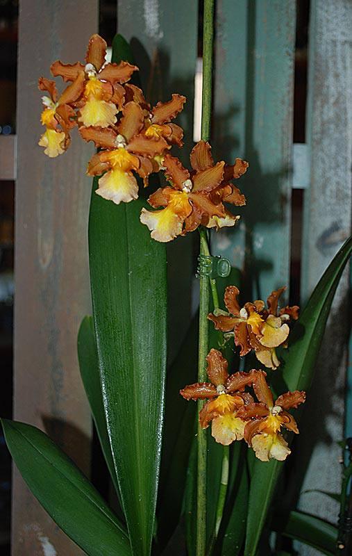 orchidées chez Boun 1613