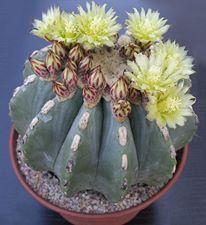 Ferocactus glaucescens inermis 18411