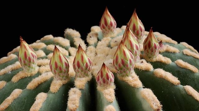 Ferocactus glaucescens inermis 18510