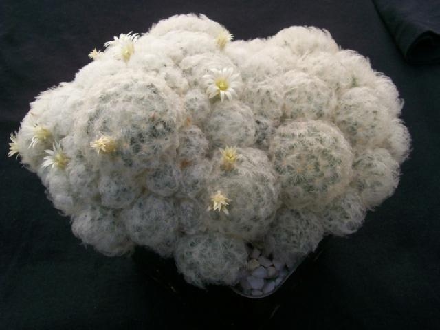 Mammillaria plumosa 18710