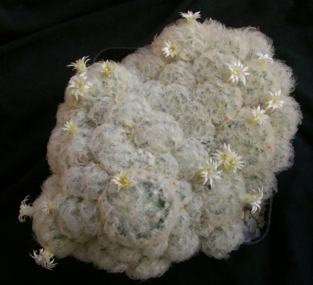 Mammillaria plumosa 19010