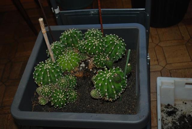 Echinopsis oxygona (= Echinopsis eyriesii v. grandiflora) 1910