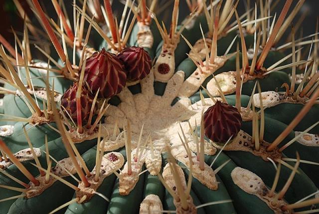 Ferocactus emoryi 22510