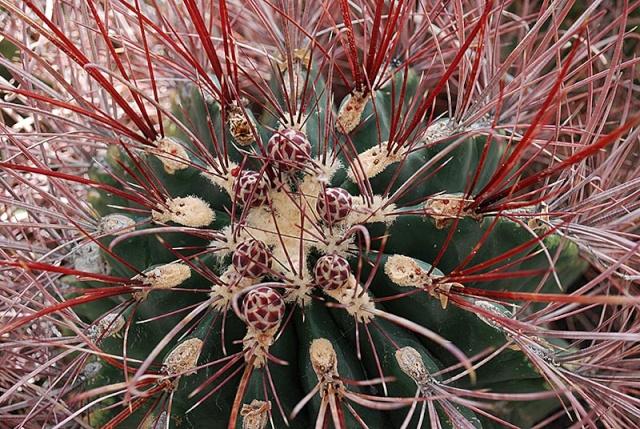 Ferocactus emoryi 22610