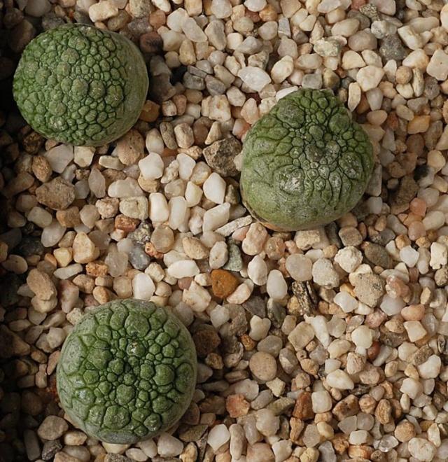 Pseudolithos migiurtinus 23110