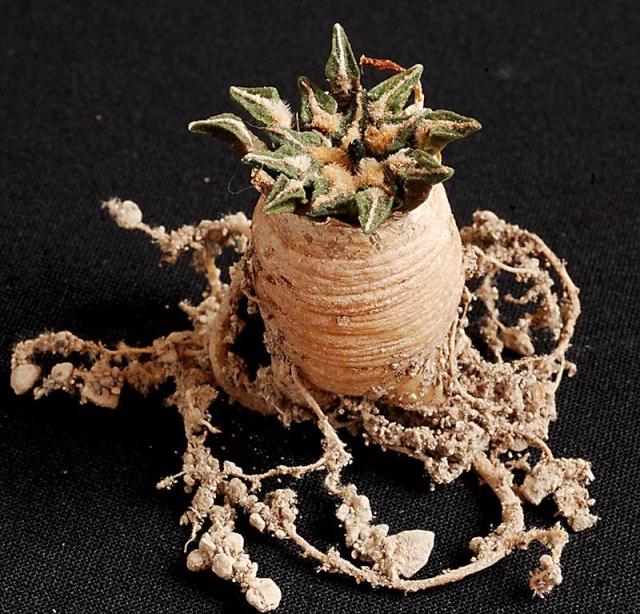 Ariocarpus kotschoubeyanus 3013