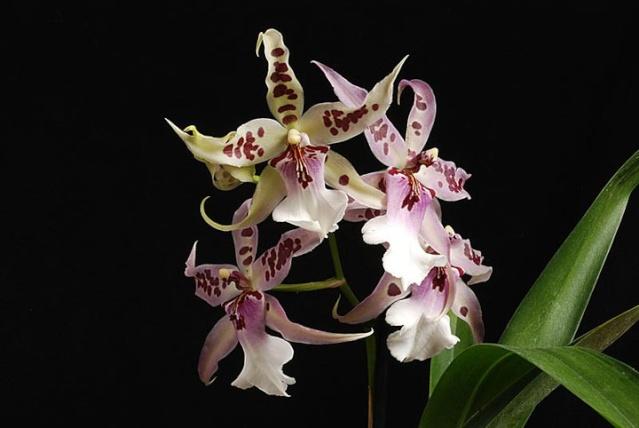orchidées chez Boun 3311