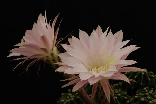 Echinopsis oxygona (= Echinopsis eyriesii v. grandiflora) 3312