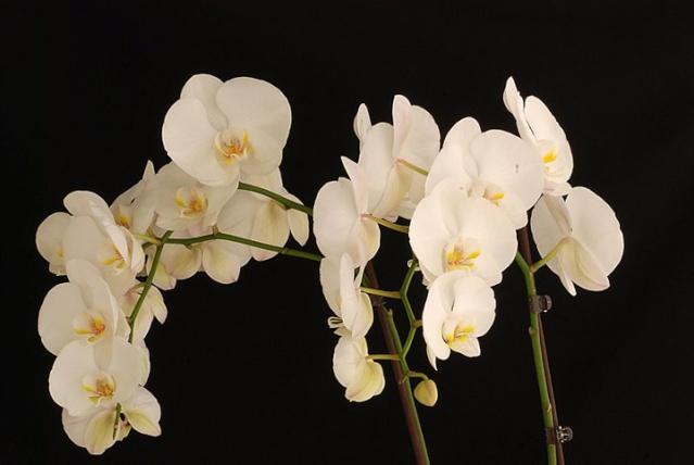 orchidées chez Boun 3412