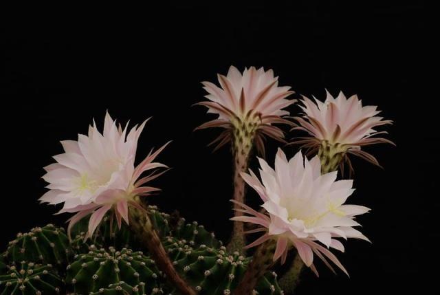 Echinopsis oxygona (= Echinopsis eyriesii v. grandiflora) 3413