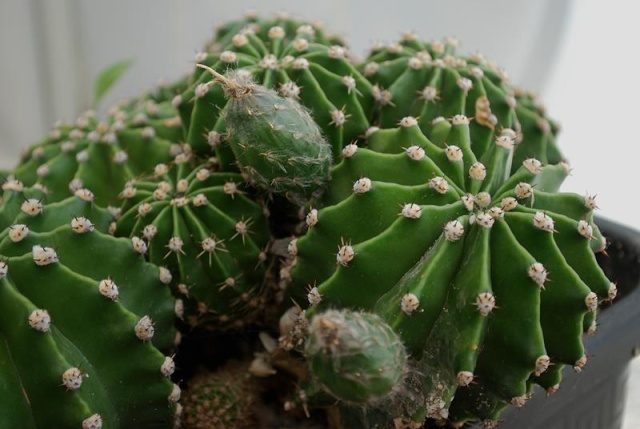 Echinopsis oxygona (= Echinopsis eyriesii v. grandiflora) 3512