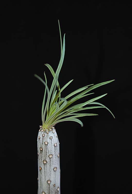 Kleinia neriifolia (= Senecio kleinia) 4711