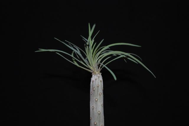 Kleinia neriifolia (= Senecio kleinia) 4811