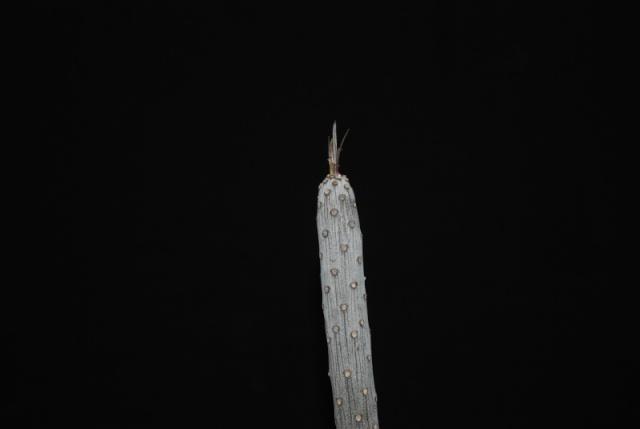 Kleinia neriifolia (= Senecio kleinia) 5012
