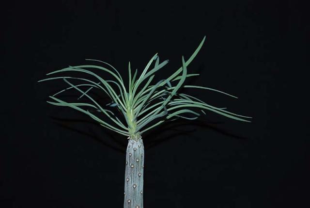 Kleinia neriifolia (= Senecio kleinia) 5111