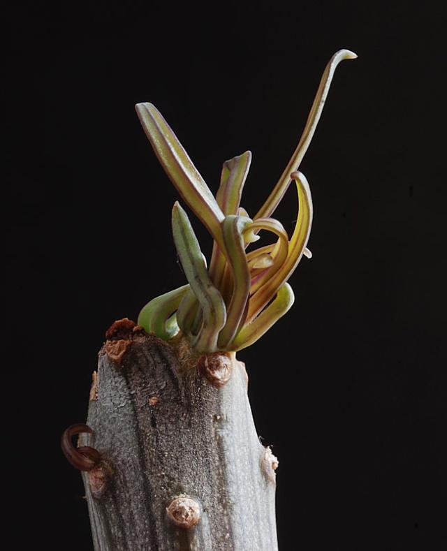 Kleinia neriifolia (= Senecio kleinia) 5310
