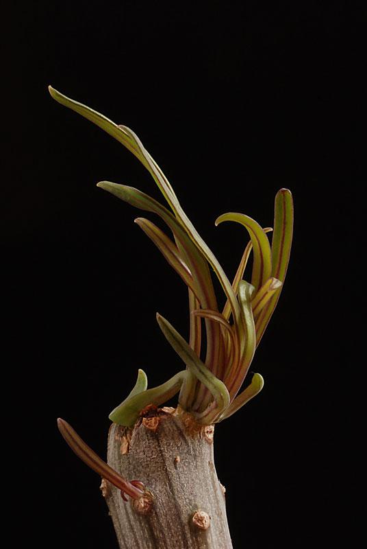 Kleinia neriifolia (= Senecio kleinia) 5410