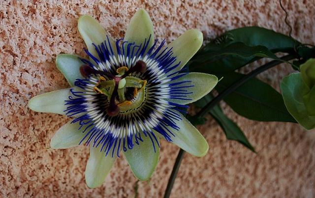 Passiflora caerulea 6710