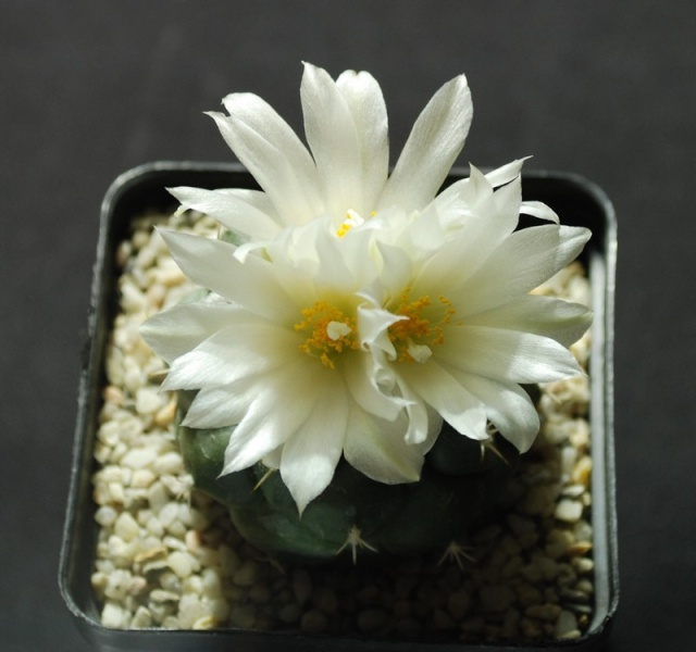 Turbinicarpus lophophoroides 8810