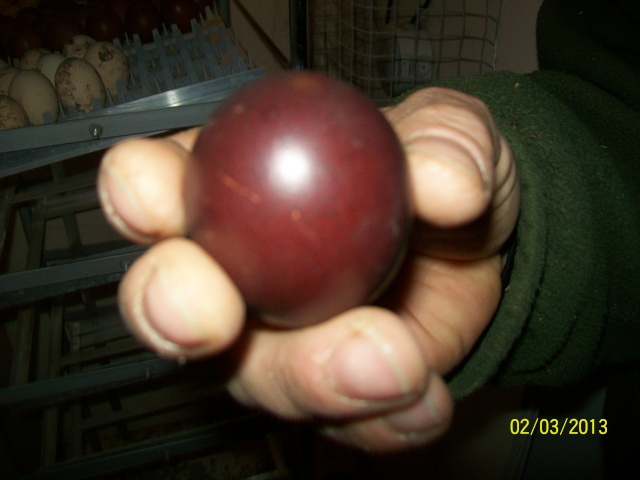 marans - L'œuf de la Marans 100_3710