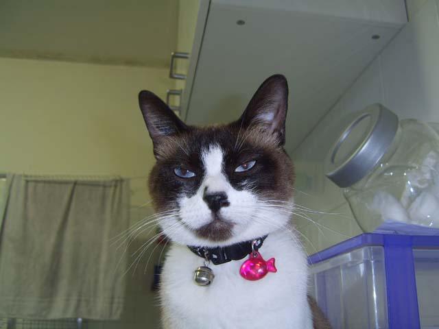 Perdue chatte siamoise à la Salvetat St Gilles Sv102810
