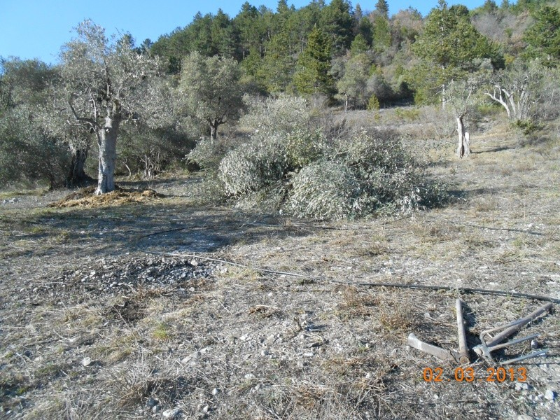 Mes oliviers . 00220