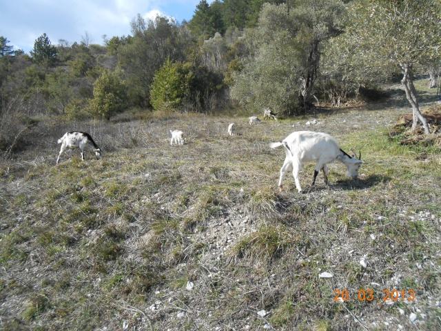 Mes oliviers . 00229