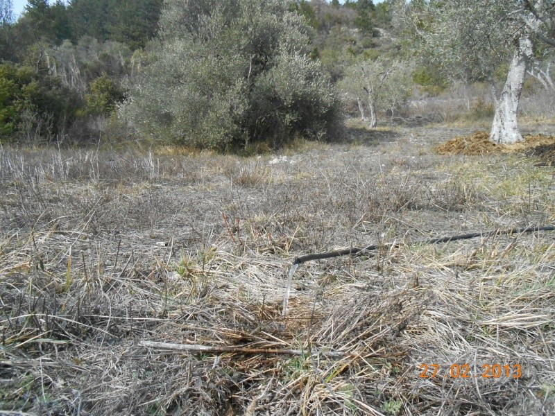 Mes oliviers . 00516