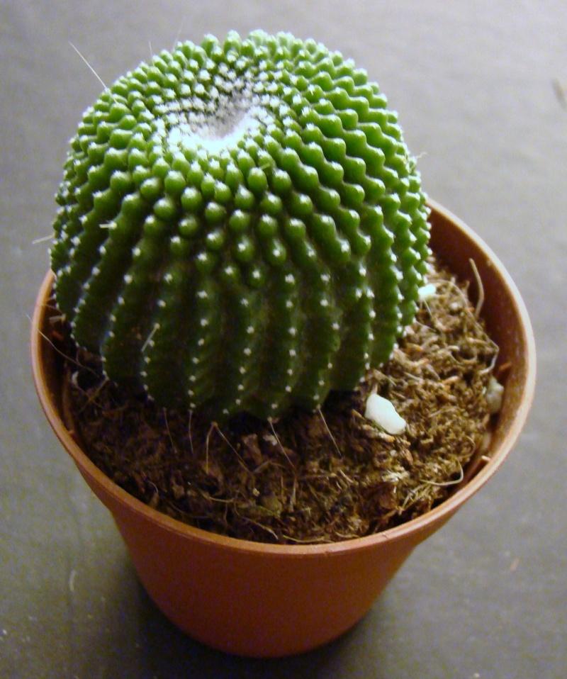 un nouveau sans nom  Echinocactus var Brevispinus 00310