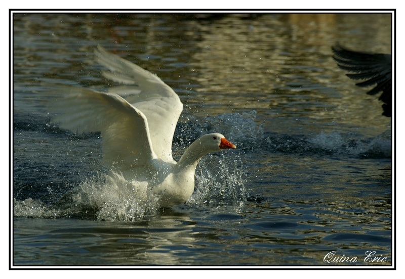 Les canards Imgp9110