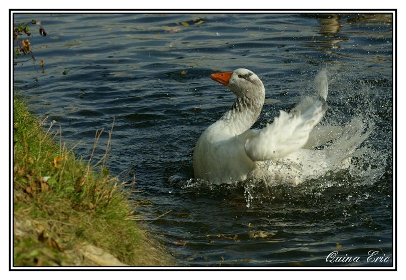 Les canards Imgp9111