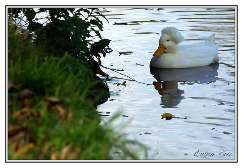 Les canards Imgp9313