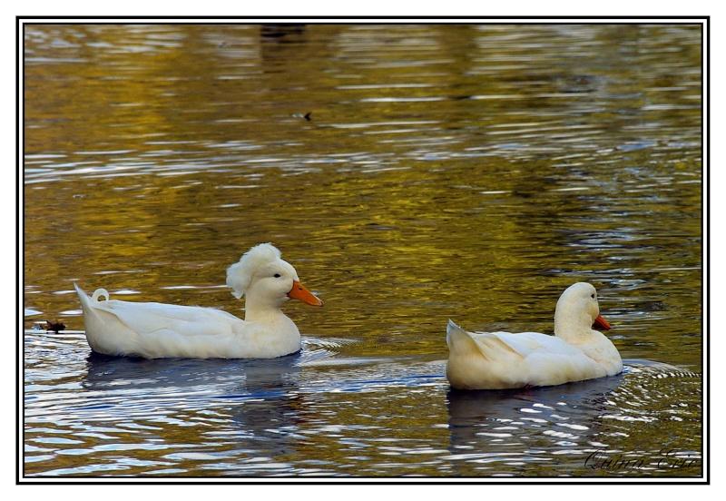 Les canards Imgp9314
