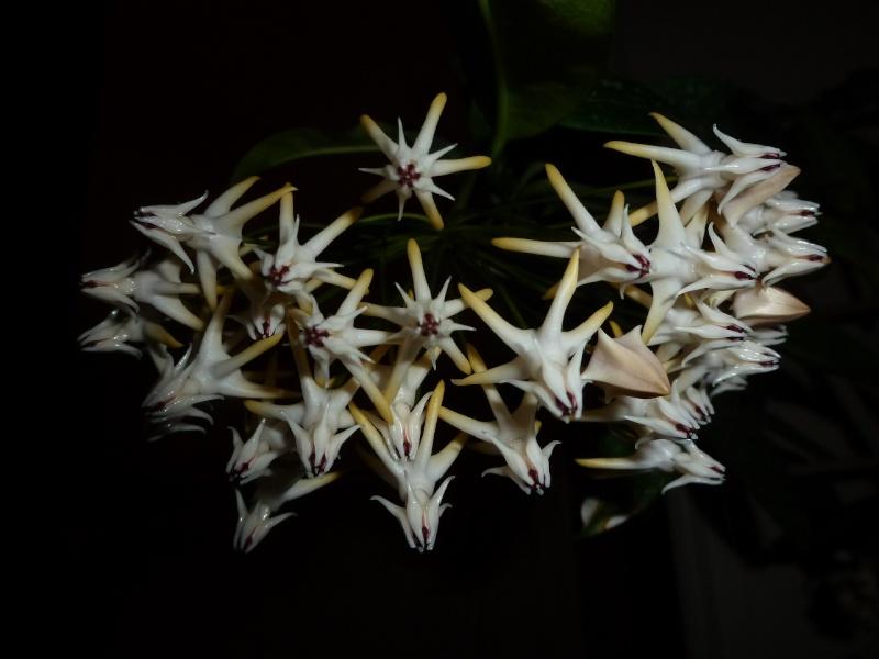 hoya multiflora en fleur P1020416