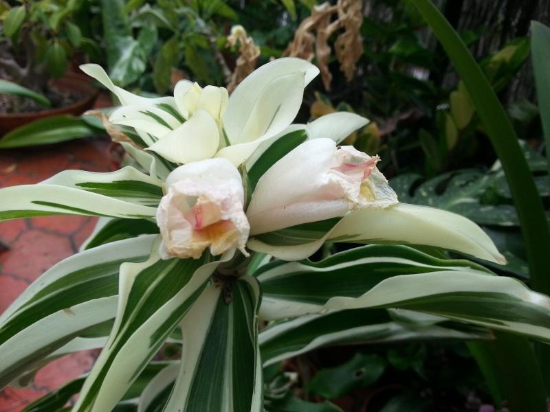Floraison costus arabicus variegata 20130810