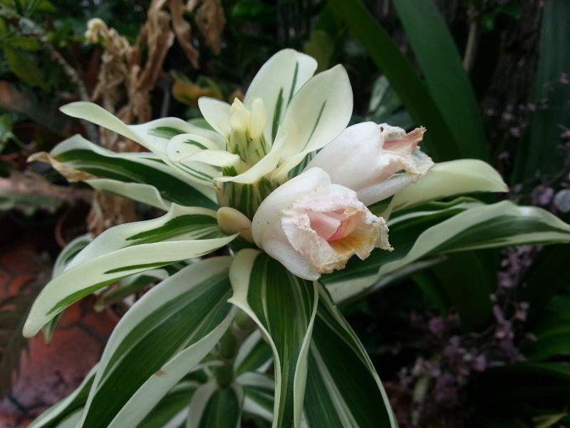 Floraison costus arabicus variegata 20130811