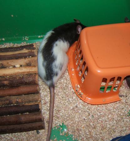 Toute une famille de rats ! Alexa_10