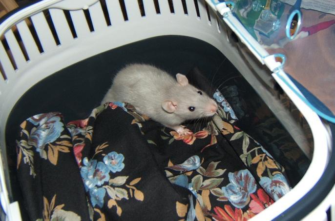 Petite ratte de bleue de 5-6 semaines, Dahlia Dahlia10