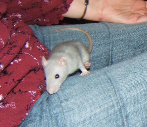 Petite ratte de bleue de 5-6 semaines, Dahlia Dahlia11