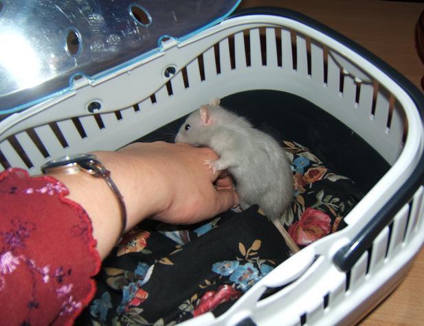 Petite ratte de bleue de 5-6 semaines, Dahlia Dahlia12