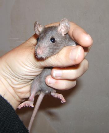 Toute une famille de rats ! Fany_110