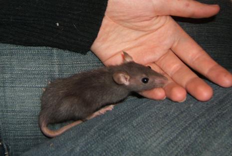 Toute une famille de rats ! Fany_112